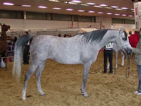 Arabský kůň